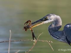 Le grand écart... (Régis B 31) Tags: ardeacinerea ardéidés ecrevisseaméricaine greyheron héroncendré pélécaniformes ariège bird domainedesoiseaux mazères oiseau