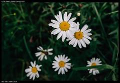 Daisies (Falcdragon) Tags: sonya7riialpha ilce7rm2 zeissloxia2821 emount wide liege belgium europe woodland nature