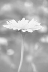 Petal Party (flashfix) Tags: june262018 2018inphotos ottawa ontario canada nikond7100 40mm flashfix flashfixphotography daisy flower floral garden backyardphotography nature mothernature bokeh macro 2minutemacro lines