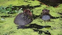 Take That! (Photocatvan) Tags: vancouver vancity hingepark falsecreek urbannature urbanwildlife beavers