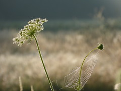 On a beautiful morning (joeke pieters) Tags: 1400879 panasonicdmcfz150 wildepeen daucuscarota vogelnestje birdsnest bishopslace queenanneslace möhre bloem wildflower dauw dew bokeh web cobweb ngc npc