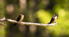 birds-2 (stevejordan56) Tags: nisqually birds forest