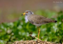 Close Up.... (Anirban Sinha 80) Tags: nikon d610 fx 500mm ed vrii n g bokeh bird lapwing habitat natural portrait beak