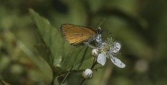 Least Skipper on Flower (Odonata457) Tags: frederick maryland unitedstates least skipper ancyloxyphanumitor