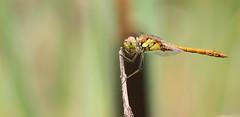 Sympetrum Striolatum (Visual Stripes) Tags: dragonfly odonata insect invertebrate nature canoneos7d sigma150mm sigma14teleconverter handheld nois