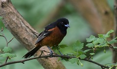 Orchard Oriole (hoppedscott) Tags: oriole orchardoriole icterusspurius birding outdoors nature pointpelee leamington ontario