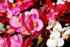 3906 Baby begonias (Andy - Busy Bob) Tags: babybegoina bbb fff flowers petals pink ppp