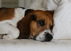 Happy Birthday Lucky (LuckyMeyer) Tags: hund dog pet beagle black white brown jagdhund