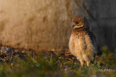 Curious (craig goettsch - out shooting) Tags: sanibel2018 burrowingowls capecoral chick bird avian nature wildlife animals nikon d850 coth5