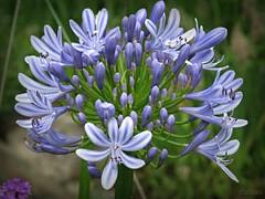 Agapanto (Franco D´Albao) Tags: francodalbao dalbao canonpowershotg10 planta plant flores flowers agapanto azul blue botánica botanics vegetal