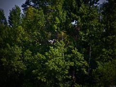 La casa del árbol (Luicabe) Tags: airelibre animal aìrbol ave cabello ciguìenìa enamorado exterior luicabe luis naturaleza paisaje planta vegetacioìn yarat1 zamora zoom ngc árbol cigüeña vegetación