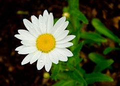 Daisy (Rackelh) Tags: flower daisy white yellow plant plants dof nature park toronto canada