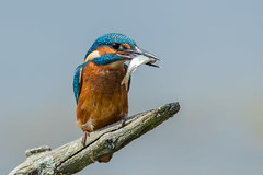Kingfisher (Simon Stobart - Back But Way Behind) Tags: kingfisher alcedo atthis perched with fish stick uk northeast england coth5 ngc npc