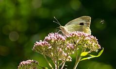 Kohlweißling (lotharmeyer) Tags: butterfly schmetterling nature lotharmeyer nikon tiere insekten natur green makro flowers blüte flower blume bokeh kohlweisling