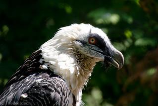 Bartgeier - Bearded Vulture