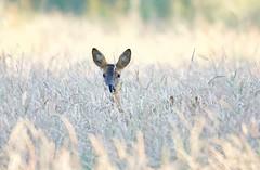 Stare Off.  (Explored 2/7/18 #22) (Alan McCluskie) Tags: roedeer deer wilddeer wildlife meadow field grass nature explored explore inexplore