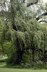 Weeping Willow (LeanneRichelle) Tags: weeping willow weepingwillow willowtree willowtrees willows weepingtree weepingwillowtree tree trees green nature park riversidepark lake grass greentree willowbranches willowleaves branches leaves