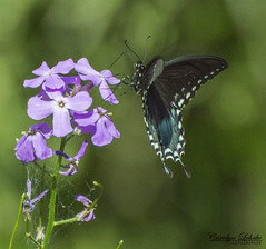 Delicate Touch (Carolyn Lehrke) Tags: nature outdoors wild woods butterfly butterflies summer wv greenbrier wildflowers