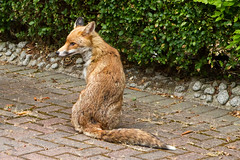 Visitor (Jon Pinder) Tags: canon eos7d 1755mm fox animal visitor