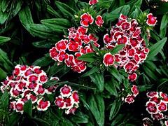 #Bartnelke #Dianthusbarbatus (RenateEurope) Tags: quintaflower 2018 renateeurope iphoneography nature flowers flora dianthusbarbatus bartnelke awesomeblossoms