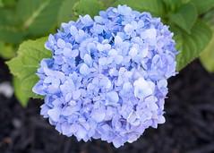 7-7-2018 (Sam Made NYC) Tags: hydrangea flora garden