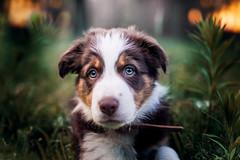 Hamilton (ch.create) Tags: puppy puppyeyes photography dogportrait dogphotography petphotography portrait pet dog australian shepherd spring