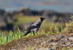 Hooded Crow 2018-0612 (seandarcy2) Tags: crow hooded birds wildlife mull uk corvids