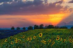 Si fa sera (marypink) Tags: provenza provence francia france valensole lavanda lavander girasoli sunflower sunset tramonto sky cielo estate summer campo fiori fioritura fiel flowers nikond800 nikkor7002000mmf28