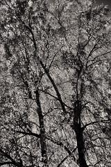 Tree In May (pni) Tags: monochrome tree birch leaf branch trunk helsinki helsingfors finland suomi pekkanikrus skrubu pni töölönlahti tölöviken töölöbay inlet
