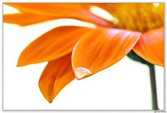 Gazania (Ken Mickel) Tags: floral flower flowers flowersplants flowersonwhite gazania kenmickelphotography natural plants waterdrop waterdrops blossom blossoms botanical flora nature photography waterdroplets