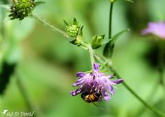 mouche (Syrphidae). 2 (Jean-Daniel David) Tags: nature insecte insectevolant bokeh vert verdure suisse suisseromande vaud tige bouton fleur mauve grosplan closeup macro sauvage animal syrphe
