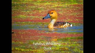 Fulvous Whistling-Duck Ballona Freshwater Marsh spelling