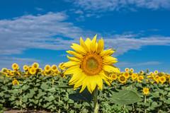 Helianthus annuus (Sunflower)  / Csongrád County 🌻 🌞 (Torok_Bea) Tags: helianthusannuus csongrádcounty csongrádmegye landscape natur napraforgó sun sunflowers sunflower nikon nikond7200 d7200 nature sigma sigma1770 summer nyár happyday