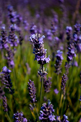 London Lavender (Sami D'zairi) Tags: outdoor london flowers lavender surrey banstead parc sunny summer august लंडन फूल गर्मी flower sunshine dayout sun cloud bees roses beautiful women july mayfield smell color croudon photos purples rose celebrating field