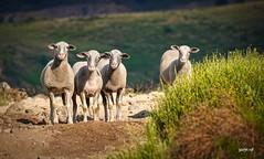 P1540893 (Denis-07) Tags: brebis mouton animal