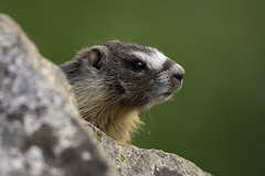 Baby Marmot Portrait (Sean Stubben) Tags: wildlife nature outdoors green animals marmot cute baby utah mountains photography naturephotography wildlifephotography