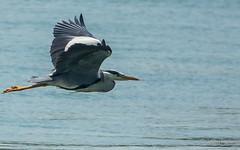 In-flight heron (JKmedia) Tags: heron bird wader anglesey wales menai boultonphotography 2018 inflight sonyrx10iii