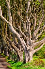 Dark Hedges #5 (efgepe) Tags: 2018 irland lightroom mai nordirland northernireland ireland dark darkhedges hedges bäume baum tree trees color farbe viveza nik