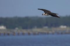 _A734988 (bram-sowers) Tags: sonyfe2470gm sonyfe100400mmgm sonya7riii warsawvirginia rappahannockriver eagle osprey tycho chez