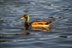 _MG_4019a (Rick_Moeller) Tags: nature wildlife birds stferdinandpark florissant missouri mo outdoors ducks