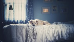 Down time (Sarah Rausch) Tags: dog bed laydown downtime sony 50mm 18 blue soft