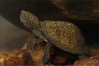 Flattened Musk Turtle (Sternotherus depressus)