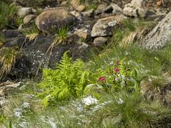 P6230020 (turbok) Tags: almrausch alpenpflanzen pflanze schnee schneeundeis wildpflanzen c kurt krimberger
