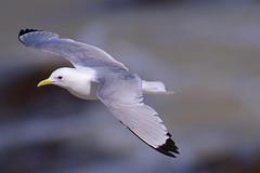 Kittiwake (redmanian) Tags: kittiwake bird ianredman gull