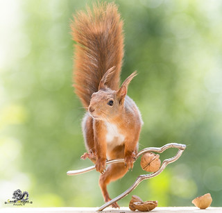 red squirrel is standing on a nutcracker