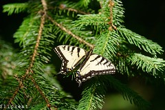 It's Christmas Everywhere (flipkeat) Tags: butterfly nature mariposa farfalle papillon outdoors portcredit sony sonyimages awesome beautiful eastern swallowtail closeup a77ii christmasornament