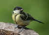 Great Tit (John R Woodward Photography) Tags: greattit birds british nature mothernature wildlife canon canondslr canoneos canonllenses canon5dmarkiv llenses
