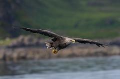 White Tailed Sea Eagle Mull 26-06-2018-0027 (seandarcy2) Tags: eagles bif seaeagle raptors birds prey coastal hunting handheld wildlife