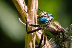 IMG_5407.jpg (markobablitz) Tags: kamera müritznationalpark ort europa mecklenburgvorpommern availablelight eos70d canon teleobjektiv objektiv deutschland germany tele libelle dragonfly