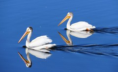Mirrored at Tarryall (Patricia Henschen) Tags: colorado swa statewildlifearea tarryall reservoir lake water americanwhitepelicans birds pelicans parkcounty southpark americanwhitepelican pelican reflection coloradoparkswildlife summer